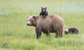 природа, ведмеді, ведмежата, гра, верхи