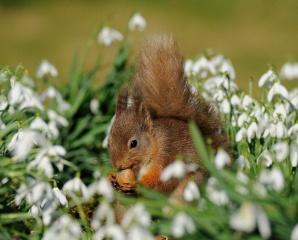 příroda, белочка, ořech, sezam, květiny, sněženky