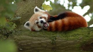 červená panda, panda, strom, nos, uši, oči, vousy, ocas, krása