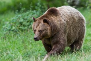 medvěd, zvíře