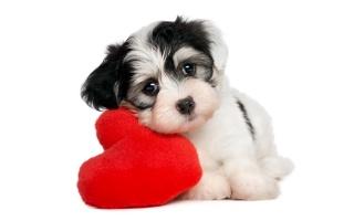 pes, štěně, dítěte, плюшевое, červené, srdce, bílé pozadí
