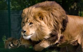 lev, dravec, král, zvěř, zoo, zvědavost, lov
