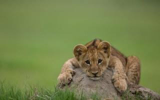 lion, kočka, lev, dravec