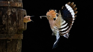 pták, křídla, Удод, let, mládě, krása