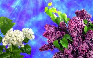 сирень, фотошоп, весна, голубой фон, лучи, свет, белый, фиолет