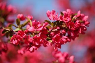 весна, цветы, ветка, яблоня, Красный, макро