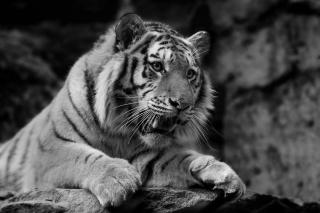 тигр, хижак, чорний, білий фон
