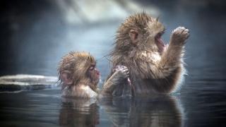 Японія, мавпа, вода, ПАРА, прикольно, весело, краса