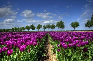 поле, тюльпаны, весна, фиолет, природа, деревья, небо, облака
