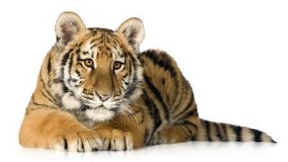 тигр, погляд