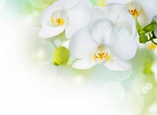 орхидеи, белый, фон, фотошоп