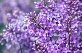 květiny, lilac, makro