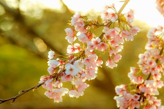 Sakura, flowers, spring, nature, branch, solar, light