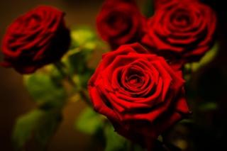 květiny, růže, makro, foto, Červená