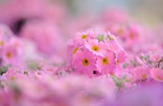 květiny, foto, jaro, růžová, pozadí