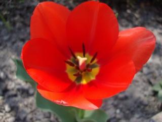 tulipán, Červená