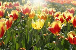 květiny, tulipány, slunce, světlo, jaro