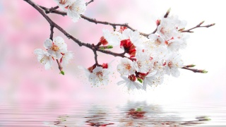 Sakura, flowers, water, reflection
