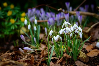 spring, snowdrops, photo, flowers, leaves, Botanical, garden