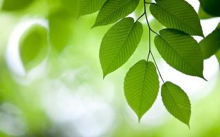 Вяз, зеленый фон, листва, ветвь