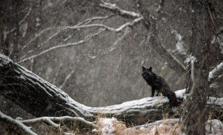 wolves, nature, forest, macro, photo, snow, winter, predators