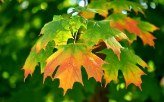 autumn, leaves, gree, branch