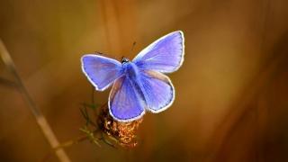 бабочка, голубая