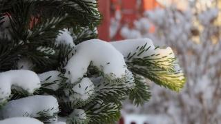 ялинка, голки, сніг, зима