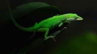 Ящиреца, Зелена