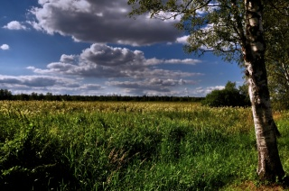 summer, field, clouds, birch