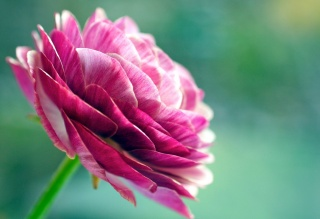 květina, barva růžová, asijské rodiny, ранункулюс