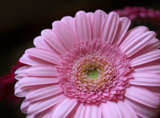 květina, okvětní lístky, růžové, květ, Gerbera, růžová, okvětní lístky, gerbera
