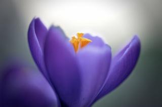 krokus, okvětní lístky, fialová, květina, makro