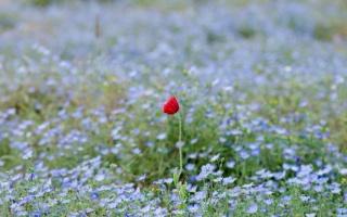 příroda, květiny, pole, mc