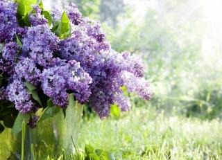 lilac, větvičky, příroda, kbelík, tráva, květiny, jaro