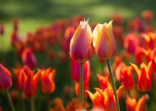 two, flowers, tulips, spring