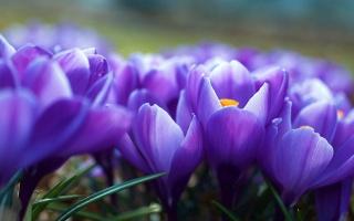 розмитість, крокуси, квіти, фіолетові, весна