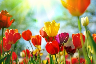 buds, red, yellow, pink, tulips, flowers