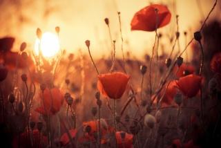 heat, Maki, flowers, the sun