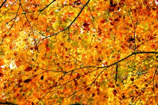 tree, branches, Maple, leaves, Krone, autumn