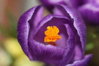 makro, zaměření, okvětní lístky, krokus, Fialová, květina