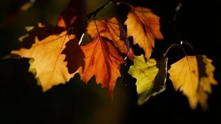 листья, осень, желтизна