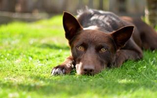 взгляд, собака, лето, поле