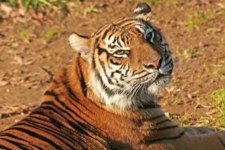 tygr, čenich, spokojený pohled, vousy
