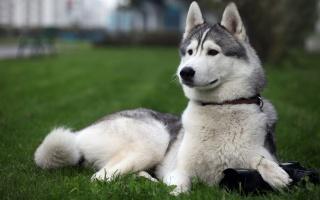 pes, Huskies.