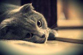 šedá, kote, kočka, pohled, Brit, oči, britský