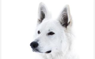 погляд, собака, фон