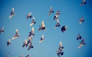 небо, птахи, політ, голуби, крила