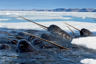 единорог, дельфин, зуб, океан, нарвал, отросток, море