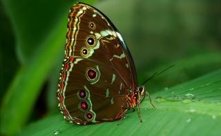 роса, глазки, бабочка, морфо, испод, лист, тропики